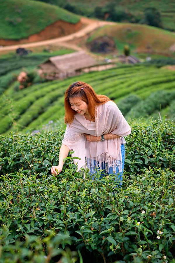 Asian happy woman picking tea leaf in field on doi Angkhang mountain Thailand. Asian beautiful woman picking tea leaf in tea plantation, Angkhang mountain stock photos