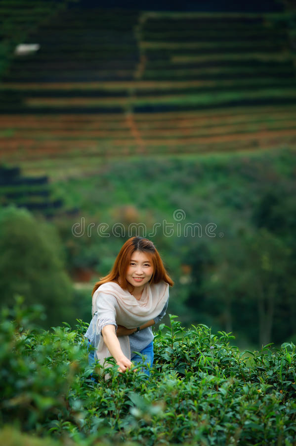 Asian happy woman picking tea leaf in field on doi Angkhang mountain Thailand. Asian beautiful woman picking tea leaf in tea plantation, Angkhang mountain stock photo