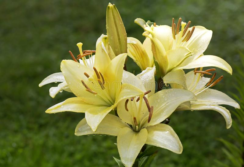The flowers are yellow Asian lilies royalty free stock photo