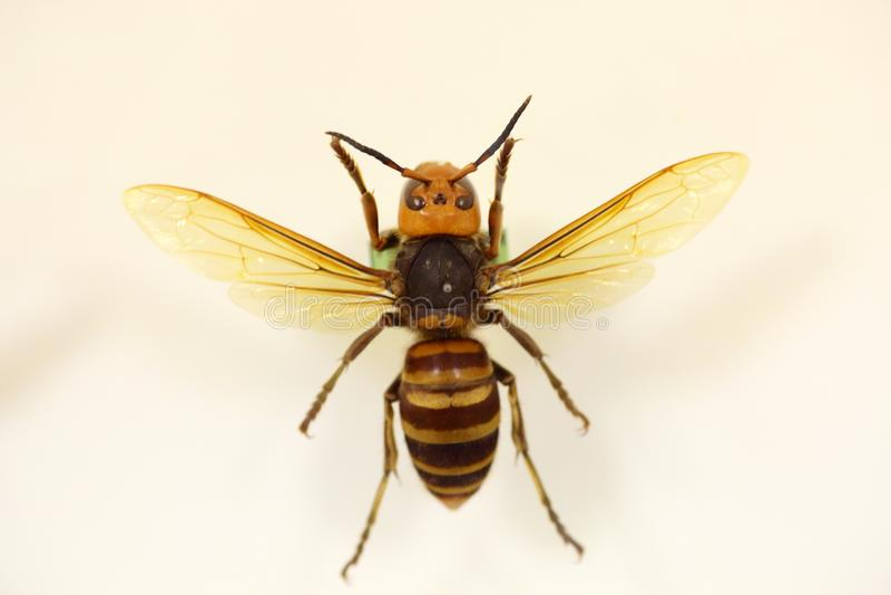 Asian or Japanese giant hornet. Vespa mandarinia isolated stock photography