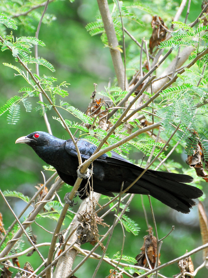 Asian koel stock photo