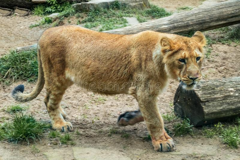 Asian lion, Panthera leo persica royalty free stock photo