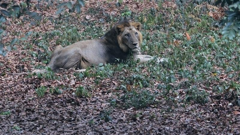 Asian Lion Resting in Lion`s Park, India. An asian male lion resting in lion`s park in India stock images