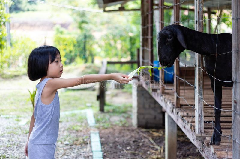 Asian Little Chinese Girl Feeding goat royalty free stock photography