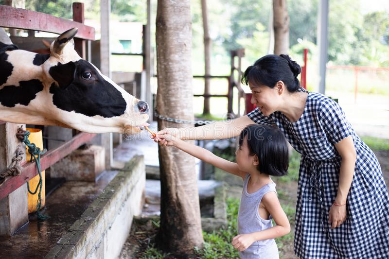 Asian Little Chinese Girl and mother feeding a cow with Carrot royalty free stock photos