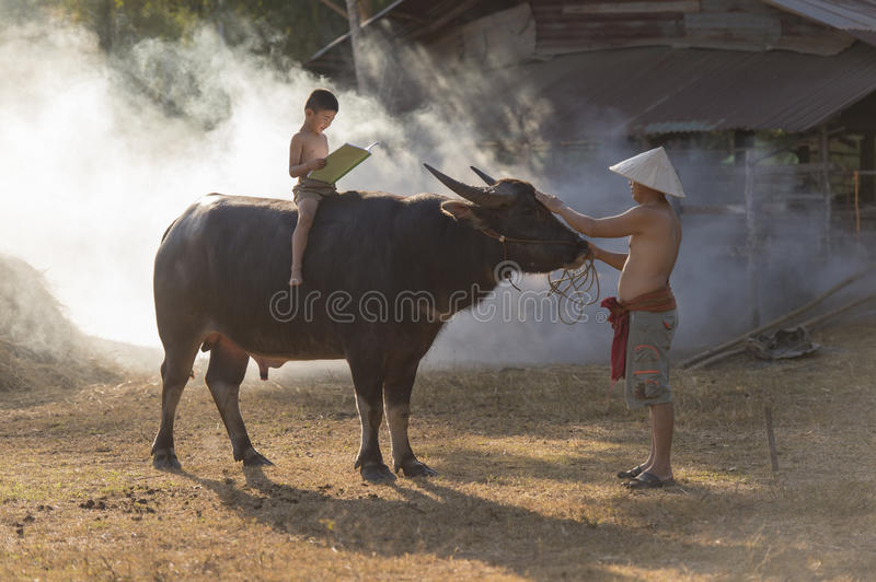 Asian local boy reading book on buffalo back with his father stock photos