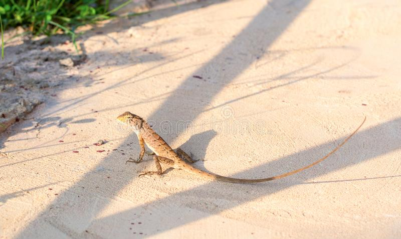 Asian long-tail lizard on hot sunny ground. Tropical lizard in garden. Brown lizard in wild nature. Mimicry skin. Exotic animal in natural environment stock images