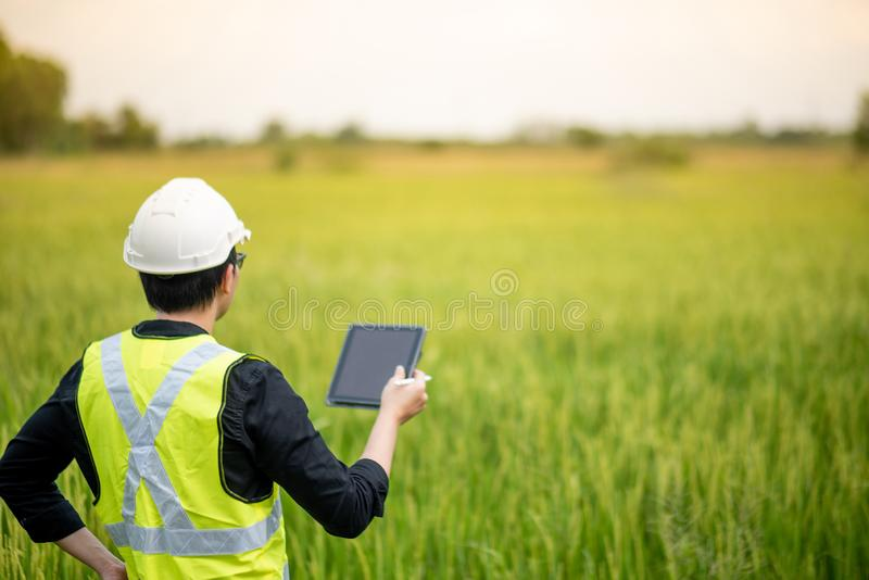 Asian male agronomist observing on rice field. Young Asian male agronomist or agricultural engineer observing green rice field with digital tablet and pen for royalty free stock image