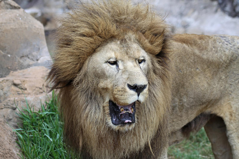 Download Asian Male Lion stock photo. Image of endangered, predatory - 22591496