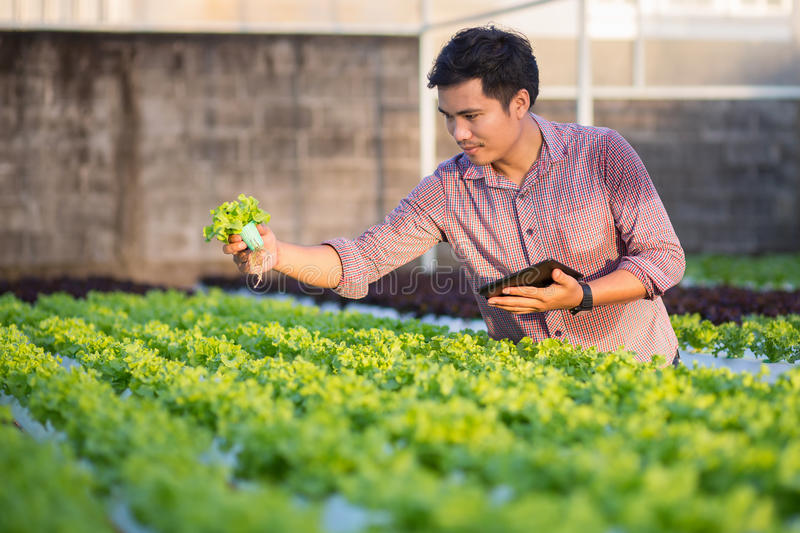 Asian man checking the quality hydroponic organic vegetable farm stock photography