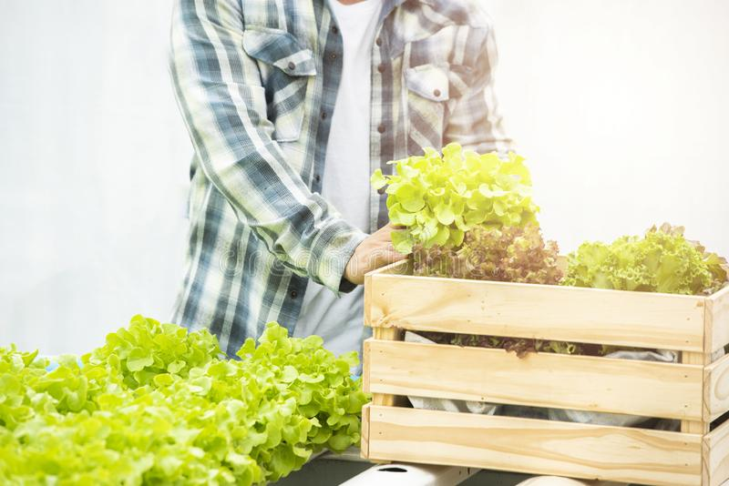 Asian man farmer holding wicker basket with fresh organic green lettuce vegetables in greenhouse hydroponic nursery farm,Small royalty free stock image