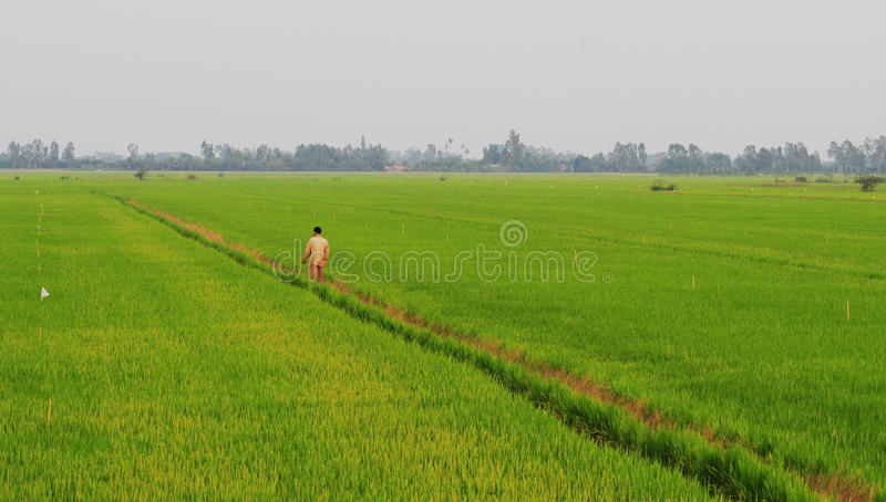Asian man passing the rice field in Thap stock image