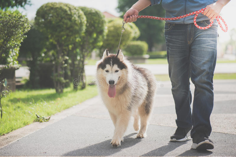 Asian man walking with a siberian husky don royalty free stock photos
