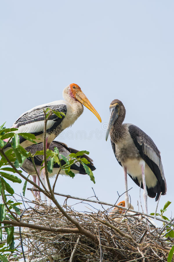 Asian openbill. Males and females are similar, long-legged, long-necked mouth of the large central Openbill to carry out the snail, which can slip round. The royalty free stock images