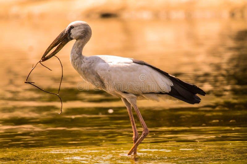 Asian Openbill Stork stock photography