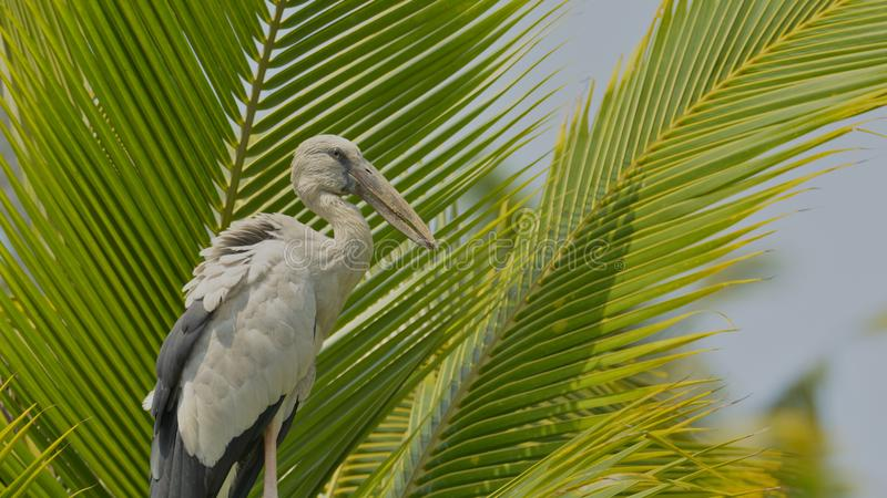 Asian open bill stork on a coconut tree stock image