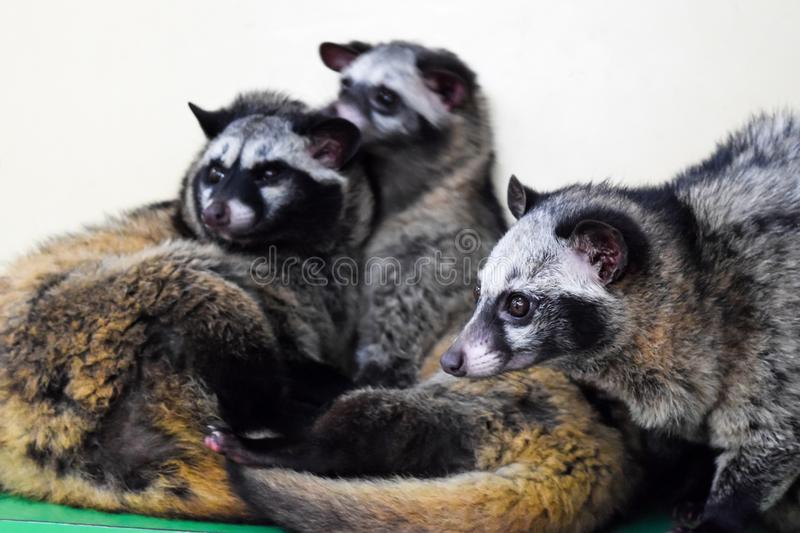 Asian Palm Civets resting in the zoo. These animals `produce` most expensive coffee in the world called Luwak stock photography