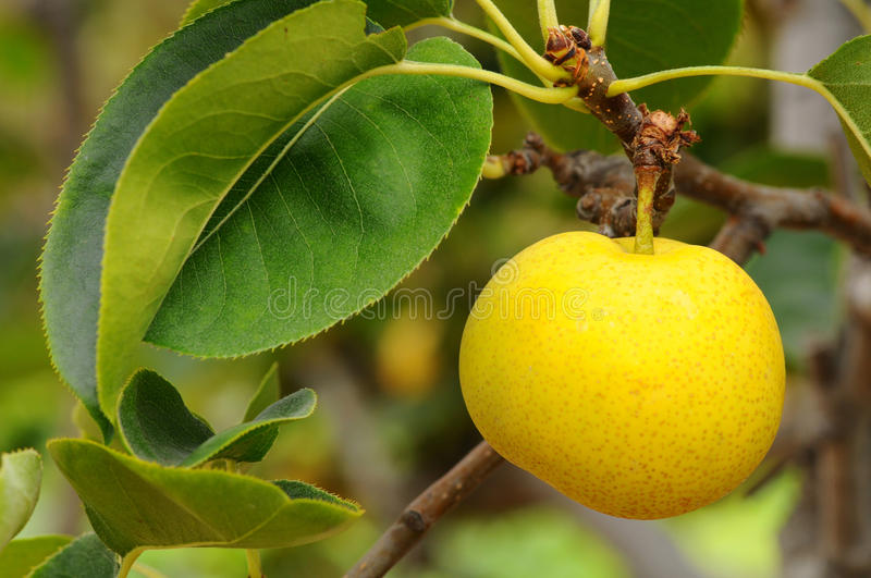 Download Asian Pear stock image. Image of outside, leaves, century - 15804221