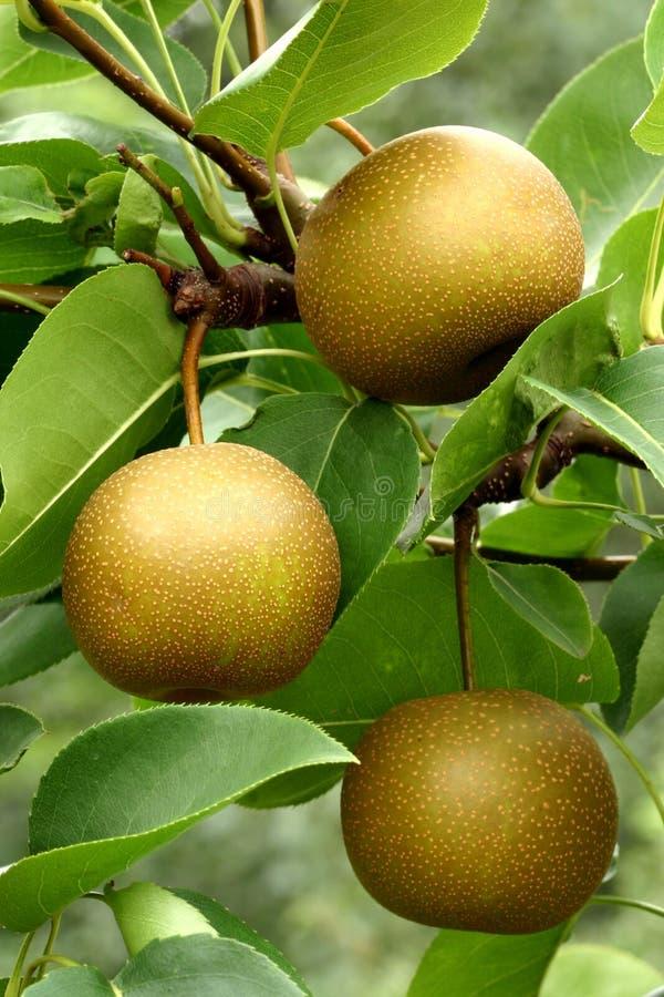 Free Asian Pear Fruits (Pyrus Pyrifolia) Stock Photo - 8087280