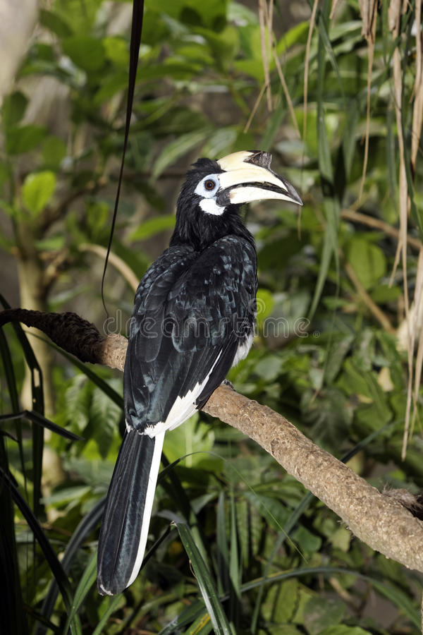 Asian Pied-hornbill, Anthracoceros albirostris. Southern pied-hornbill or Asian Pied-hornbill, Anthracoceros albirostris, single bird on branch, Indonesia, March stock image