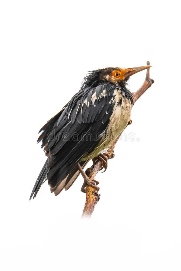 Asian Pied Starling perching on a perch isolated on white background. Chiang Mai, Thailand stock photo