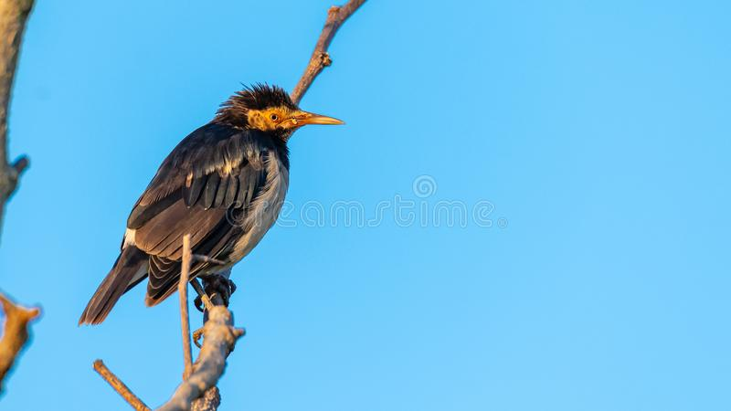 Asian Pied Starling perching on a perch looking into a distance with blue sky background. Chiang Mai, Thailand royalty free stock images