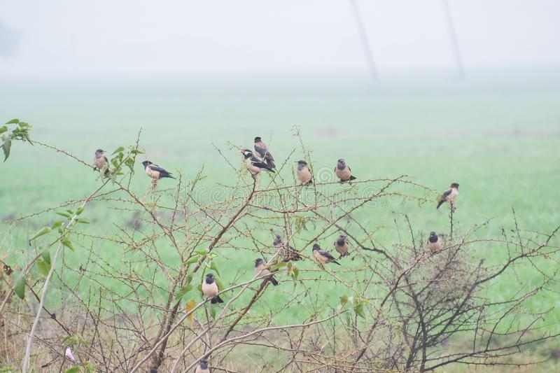 Asian Pied Starling and Rosy Starling Flock. Asian Pied Starling Lamprotornis bicolor and Rosy Starling Pastor roseus Flock on thorny tree near the agriculture royalty free stock images