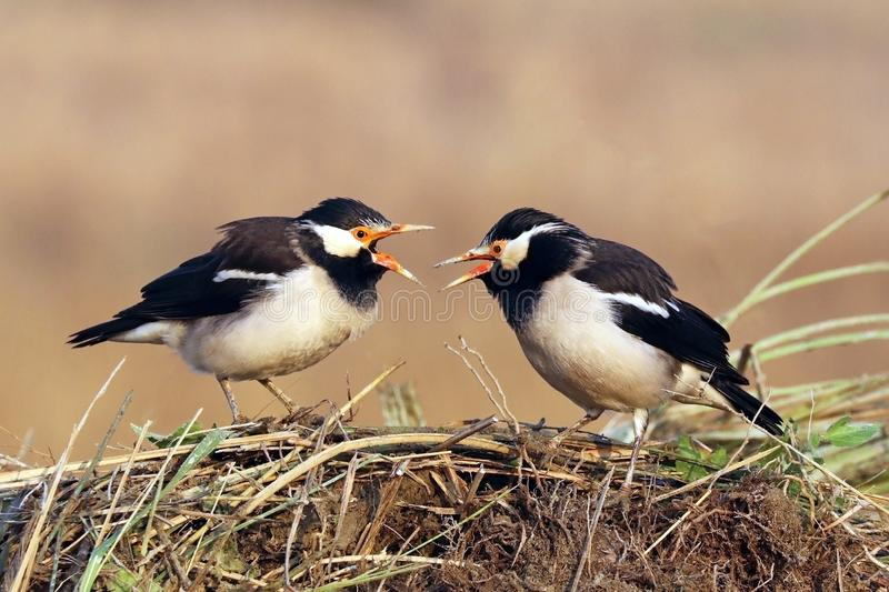 Asian pied starlings & x28;Gracupica contra& x29;, Sali, Uttar Pradesh, India royalty free stock photo
