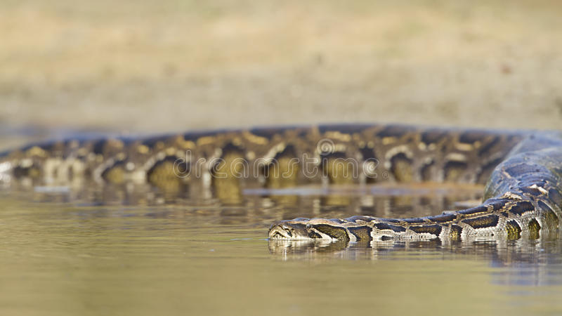 Asian Python in river in Nepal stock images