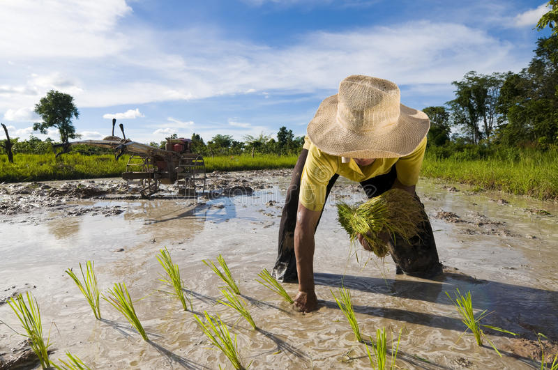 Asian rice farmer royalty free stock images