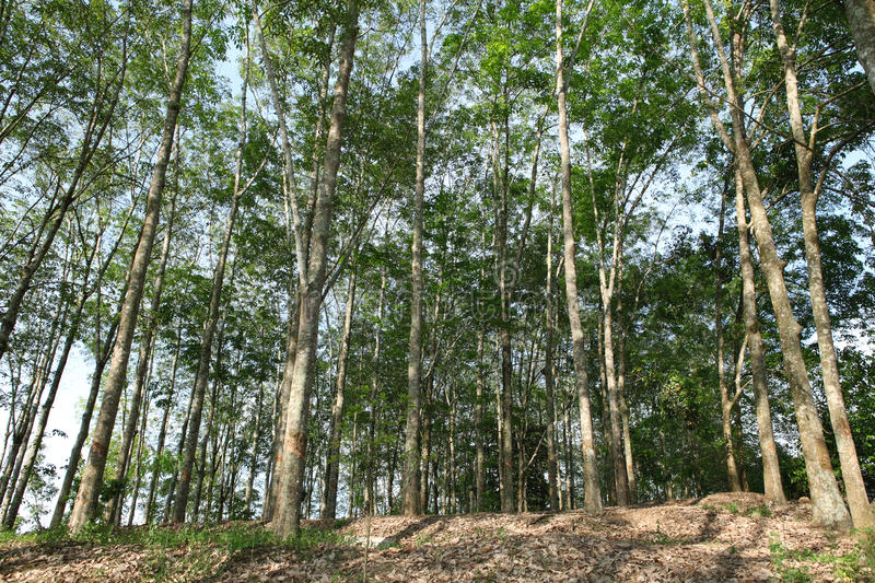 Asian Rubber plantation. Asian weather on the most suitable rubber tree royalty free stock photo