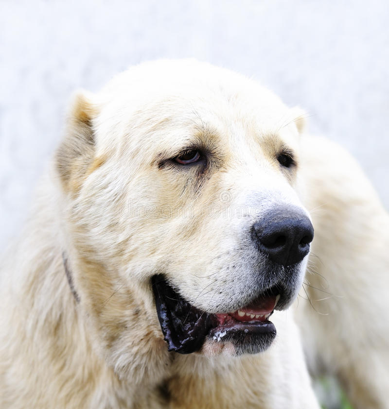 Download Asian Sheep dog stock photo. Image of animal, asian, canine - 25856166
