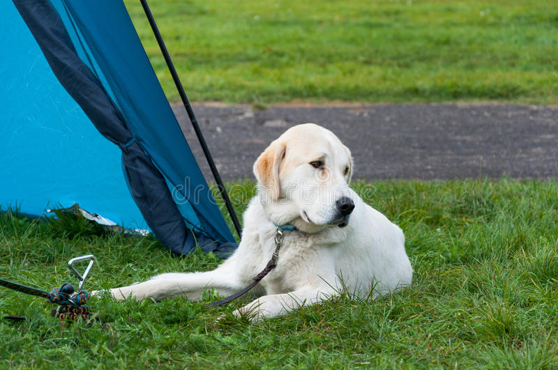 Asian Shepherd dog. Central Asian Shepherd dog lying on the grass by the tent royalty free stock photos