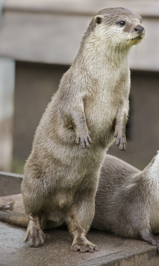 Asian Short Clawed Otter Stock Photos