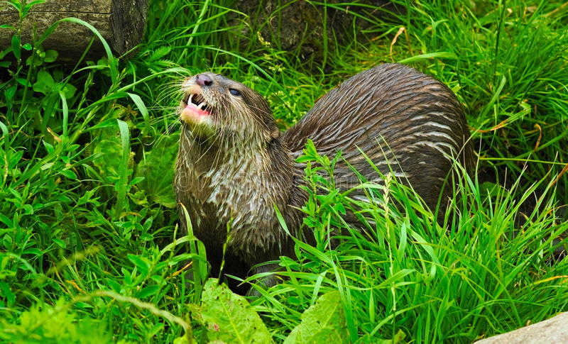 Asian short clawed otter stock photography