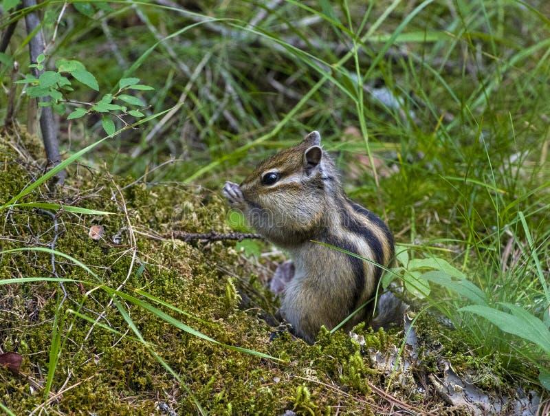 Asian Siberian chipmunk in the natural habitat. stock photography
