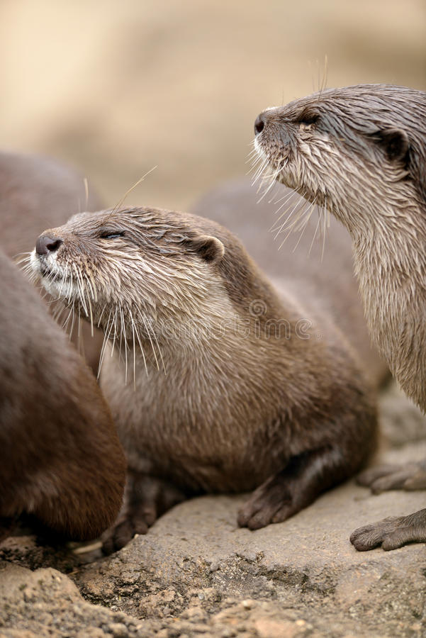 Download Asian small-clawed otter stock image. Image of oriental - 27649855
