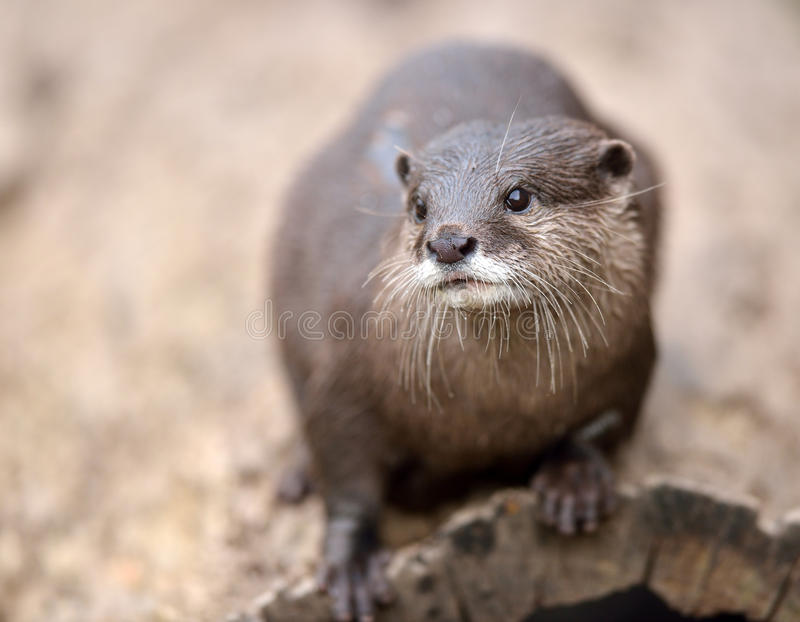Asian Small-Clawed Otters Royalty Free Stock Photography