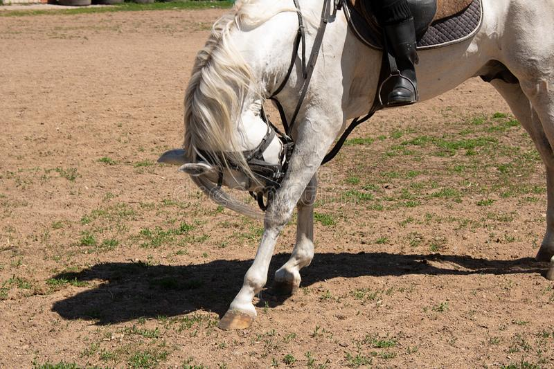 White trained horse with jockey on ranch royalty free stock photography