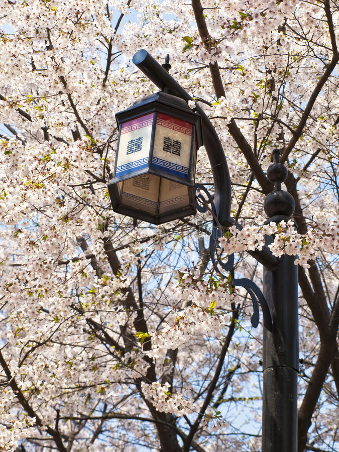 Asian street light and blooming cherry tree branches royalty free stock photography