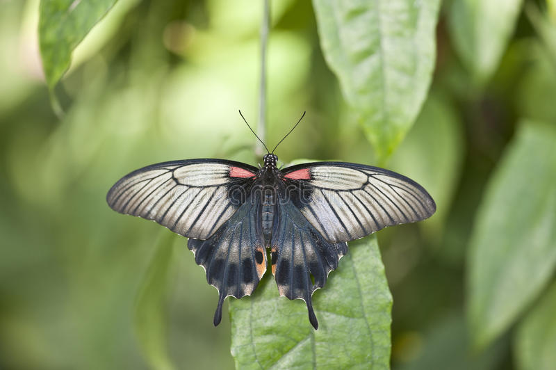 Asian Swallowtail butterfly. On plant stock photos