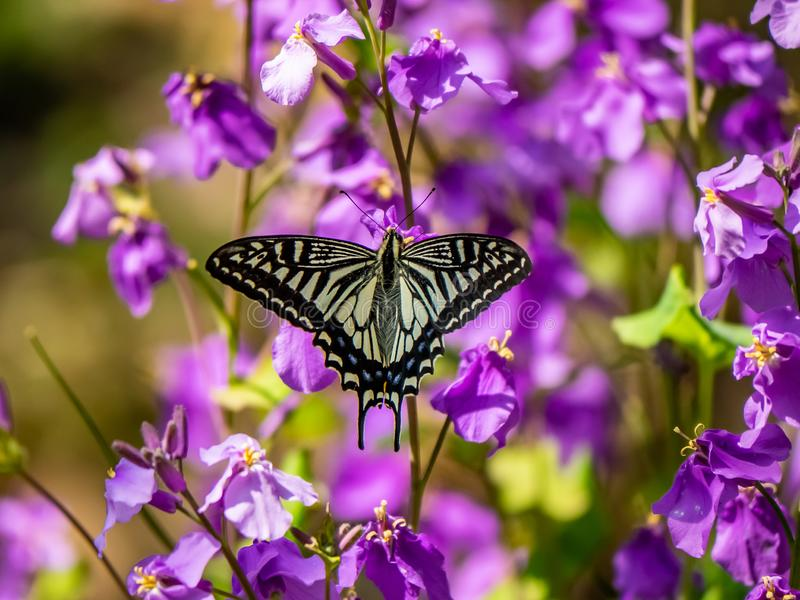 Asian swallowtail butterfly on annual honesty flowers 1. An Asian swallowtail butterfly, Papilio xuthus, feeds from annual honesty flowers along a small wetland stock image