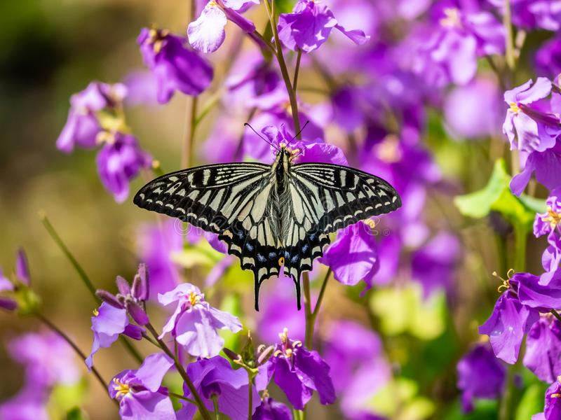 Asian swallowtail butterfly on annual honesty flowers 1. An Asian swallowtail butterfly, Papilio xuthus, feeds from annual honesty flowers along a small wetland stock photos