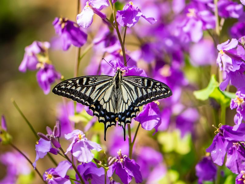 Asian swallowtail butterfly on annual honesty flowers 1. An Asian swallowtail butterfly, Papilio xuthus, feeds from annual honesty flowers along a small wetland stock photography