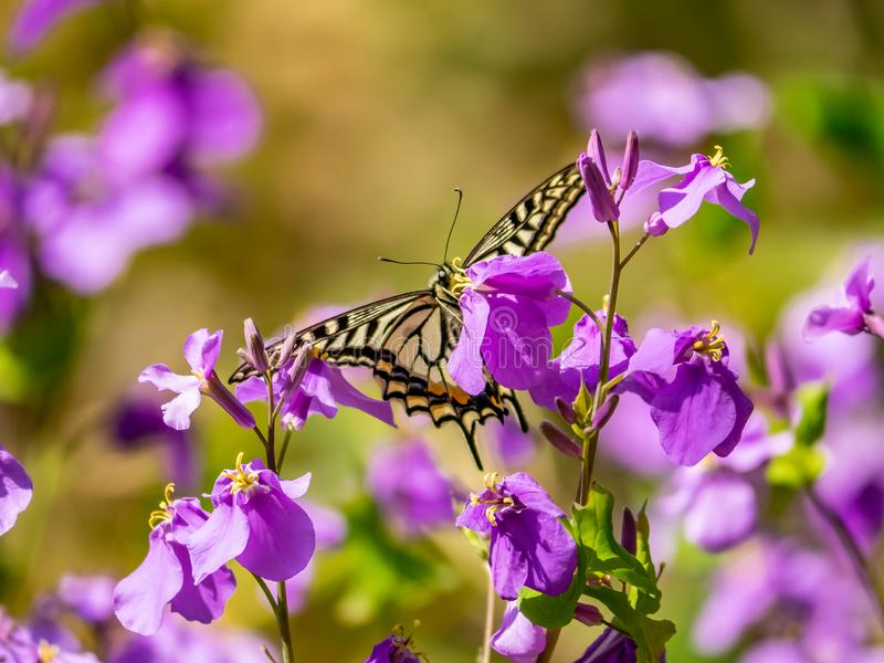 Asian swallowtail butterfly on annual honesty flowers 1. An Asian swallowtail butterfly, Papilio xuthus, feeds from annual honesty flowers along a small wetland royalty free stock photo