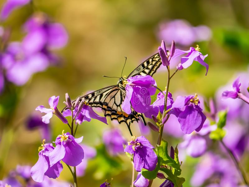 Asian swallowtail butterfly on annual honesty flowers 1. An Asian swallowtail butterfly, Papilio xuthus, feeds from annual honesty flowers along a small wetland royalty free stock photography