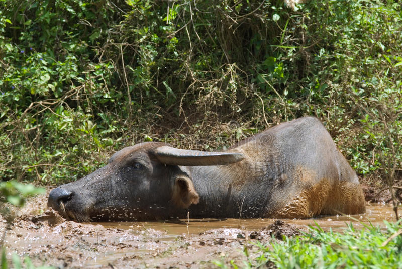 Asian swamp buffalo royalty free stock images