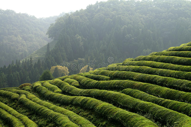 Asian Tea plantation stock images
