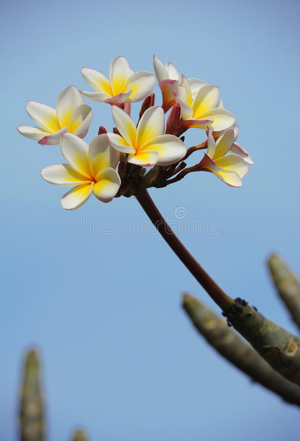 Asian temple flower. With blue sky background stock image