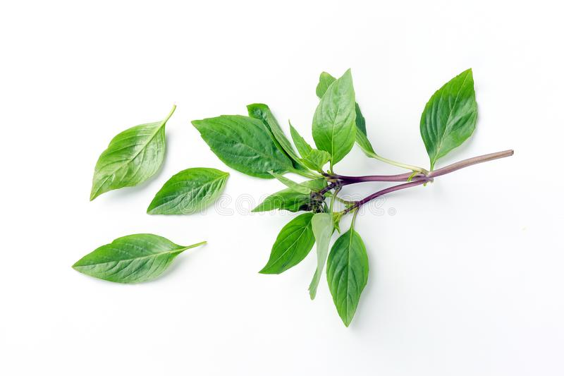 Asian Thai basil. Fragrant green herb on white background royalty free stock images